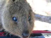 Quokka in Australia