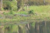 A Croc, too close for comfort!